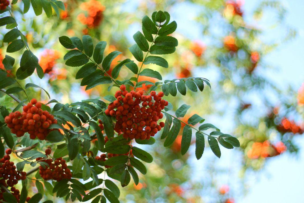 rowan tree leaves morning berries ripe harvest bunch wallpaper