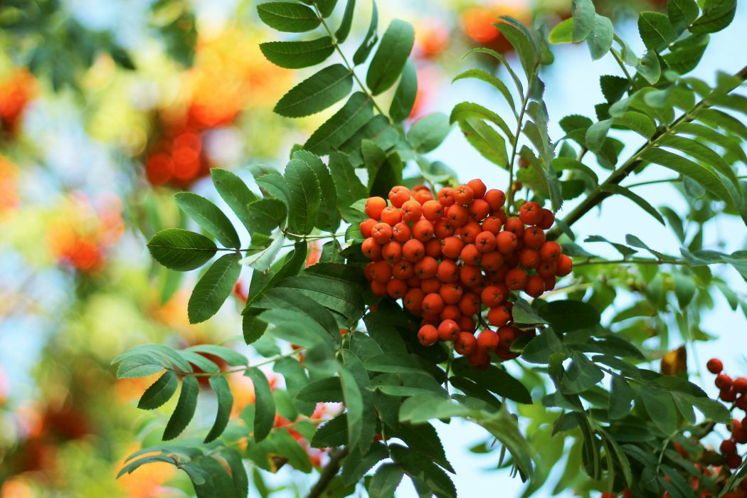 rowan tree leaves morning berries ripe harvest bunch wallpaper