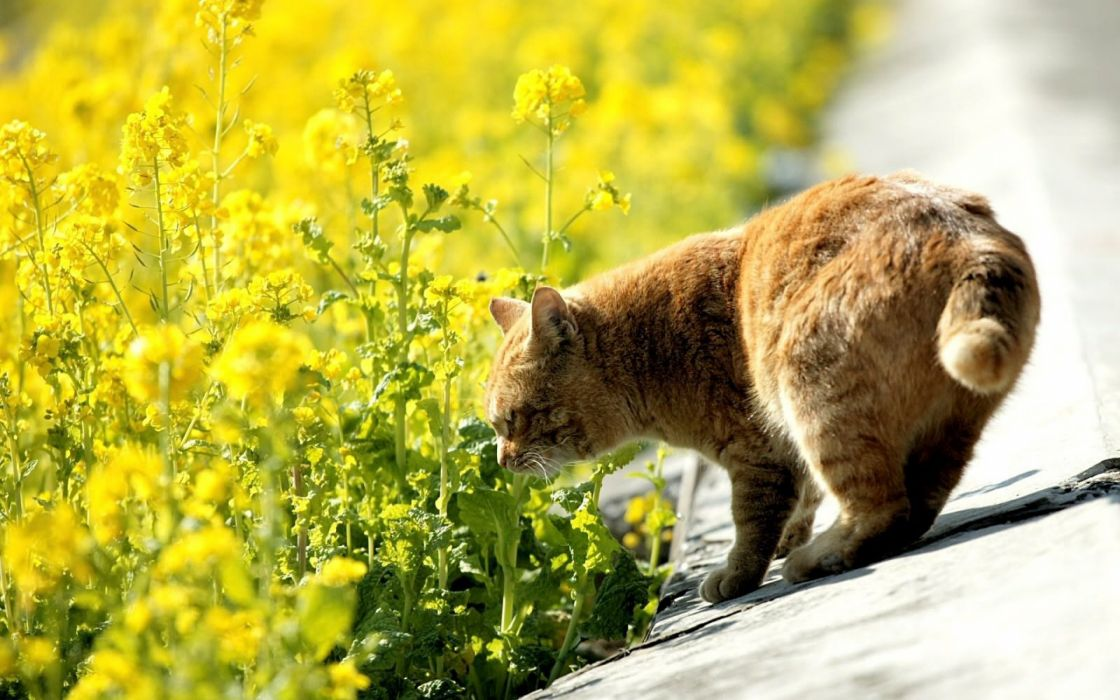 Rape flowers and a cataeus cute wallpaper