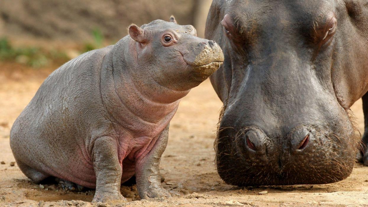 madre bebe hipopotamos wallpaper