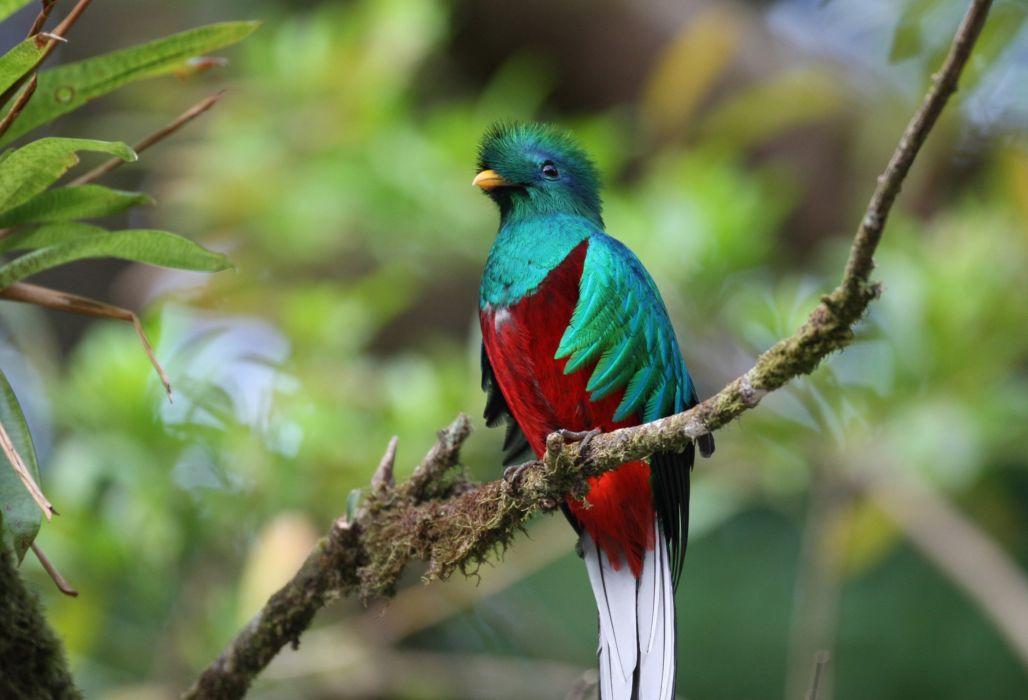 quetzal ave exotica multicolores wallpaper