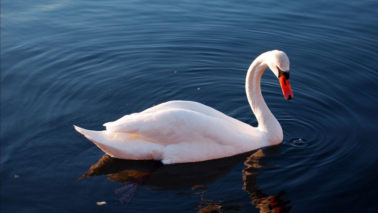 cisne blanco ave wallpaper