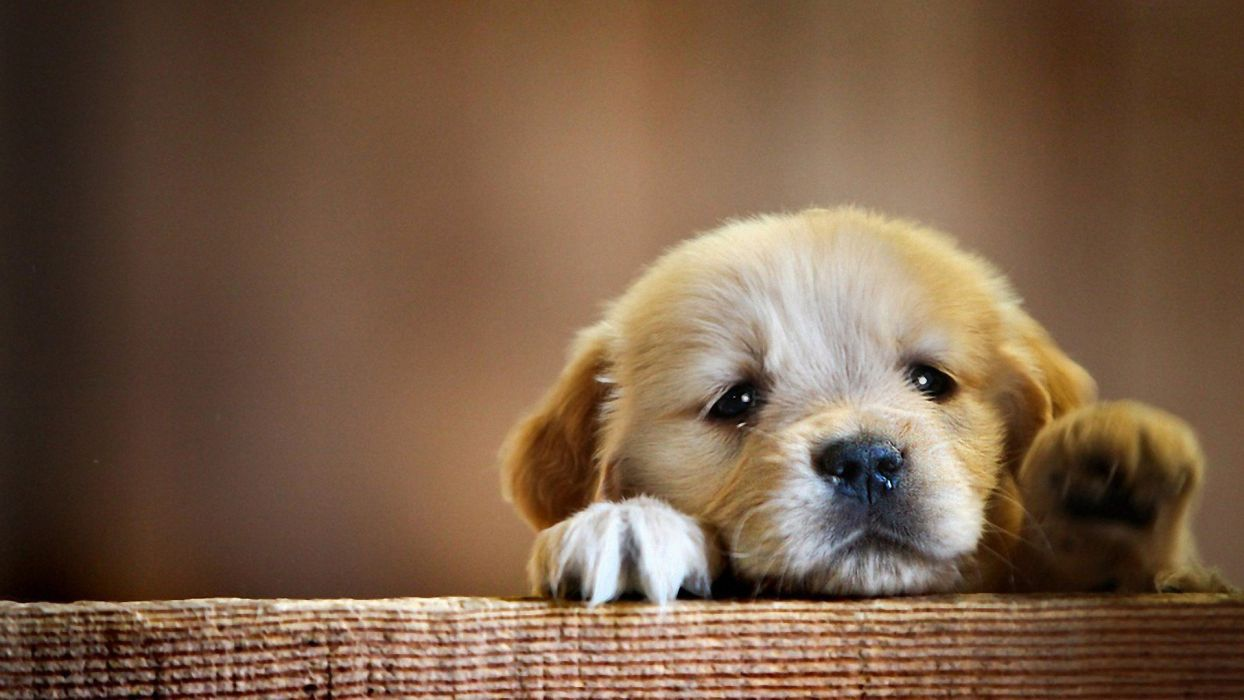 puppy want to play animal cute baby dog wallpaper | 1920x1080