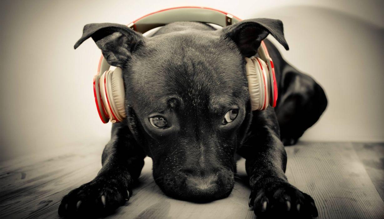dog animal cute headphone wallpaper