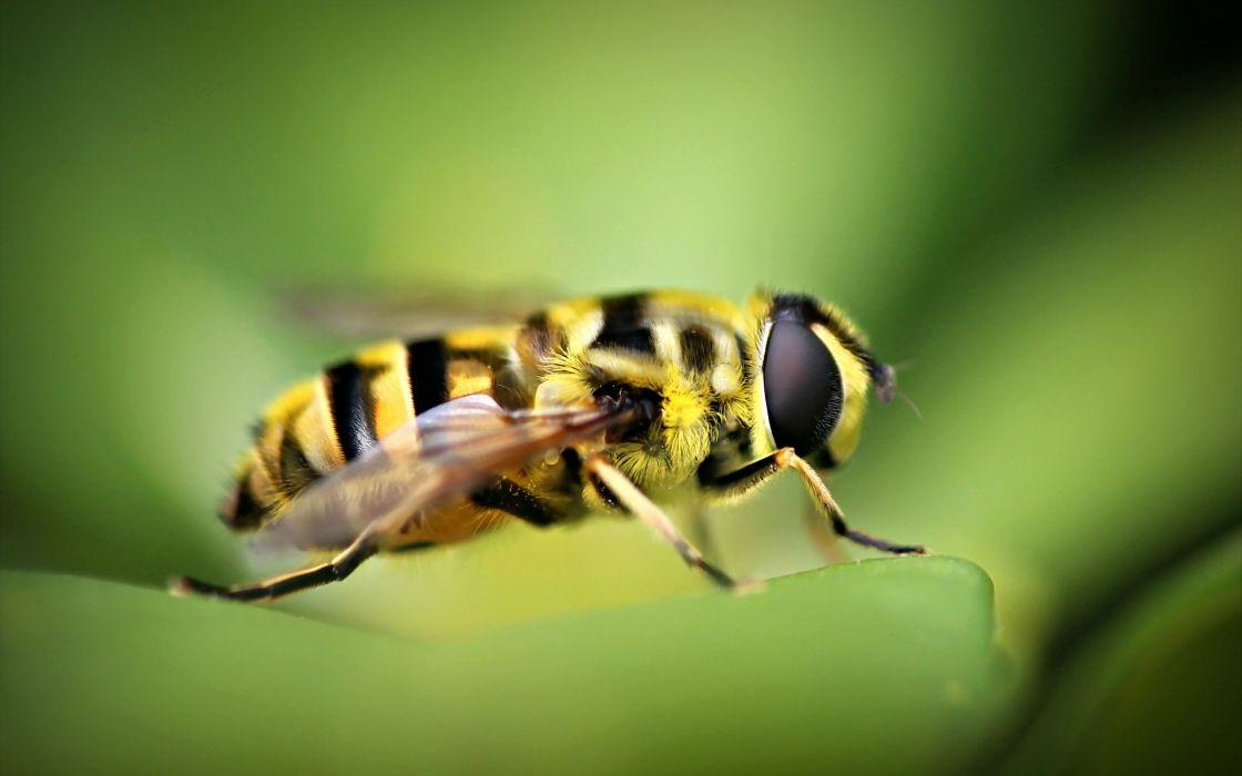 animal macro bee wallpaper