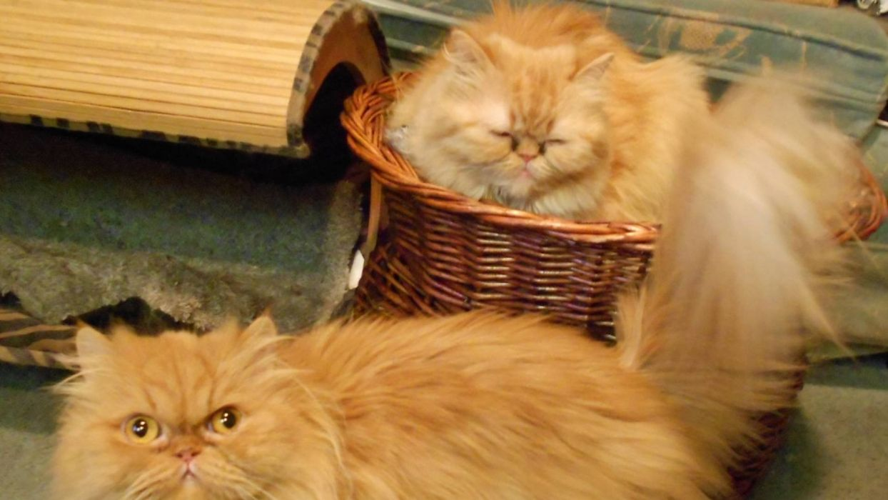 gatos persas peludos wallpaper