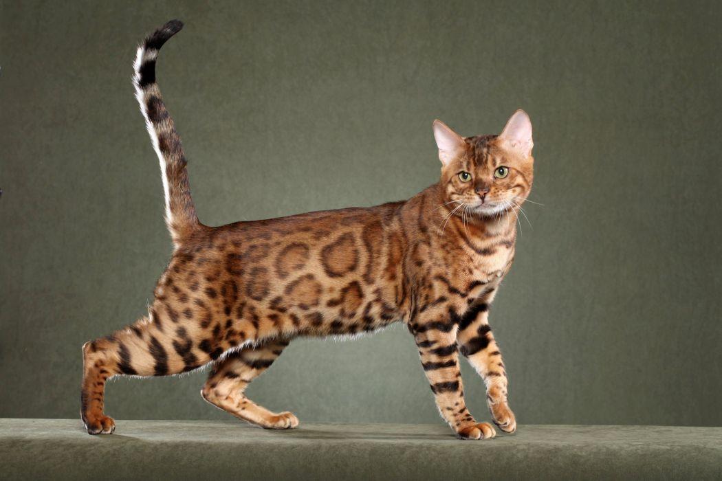 gato comun felino wallpaper