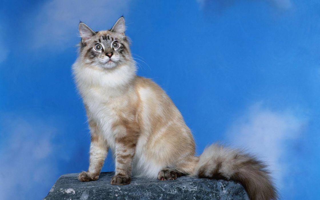 gato angora peludo felino wallpaper