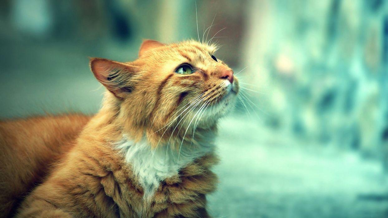 gato comun felino mirada wallpaper