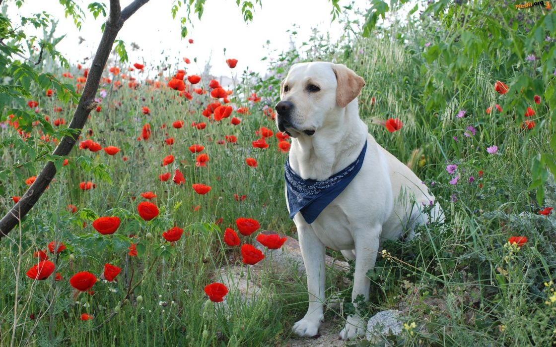 perro labrador paA wallpaper