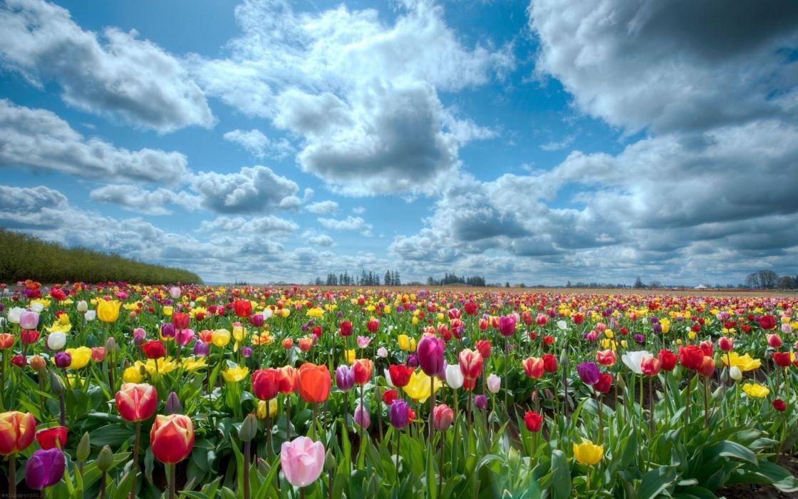 Tulips Beauty Nature Flower Beautiful Garden Wallpaper