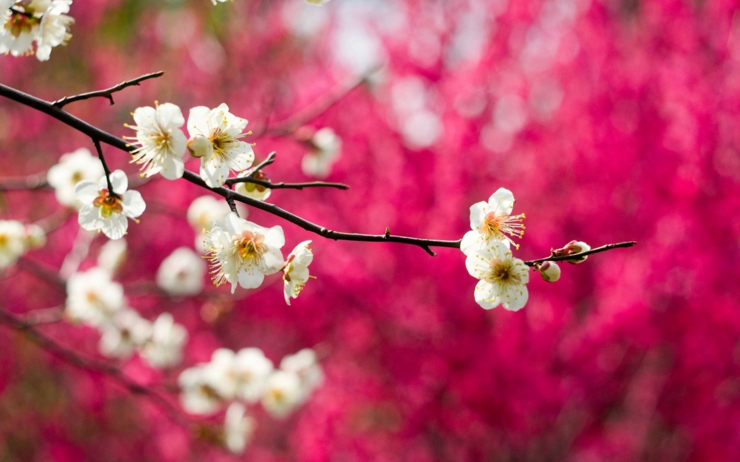 Spring pink tree beauty nature flower beautiful wallpaper ...