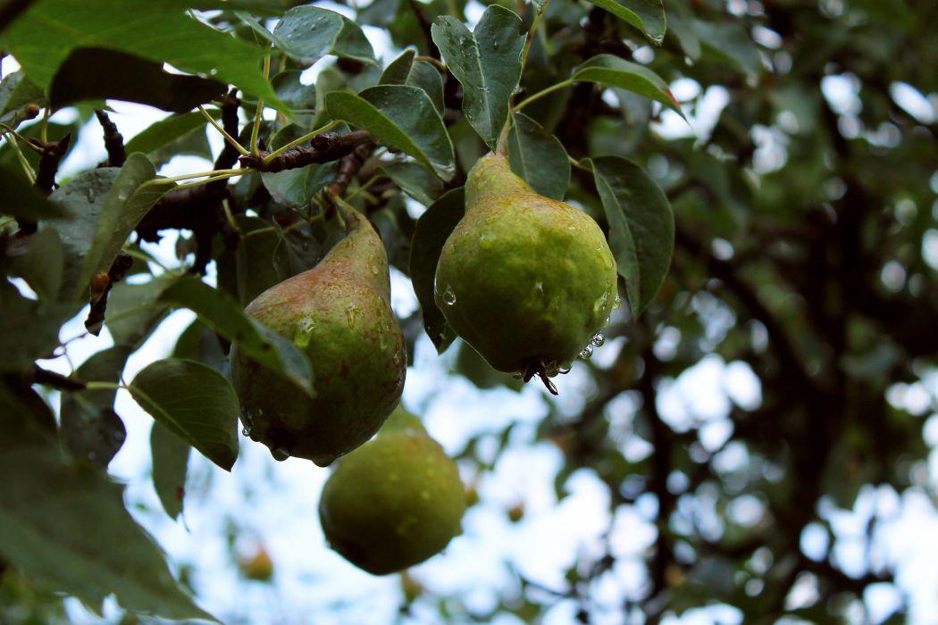 pear fruits tree rain drops morning summer wallpaper