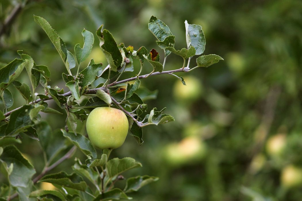apple fruit tree garden branch summer wallpaper