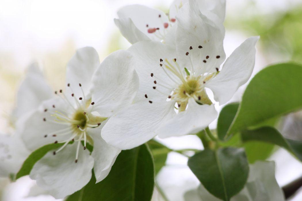 pear flowers blossom spring leaves tree macro wallpaper