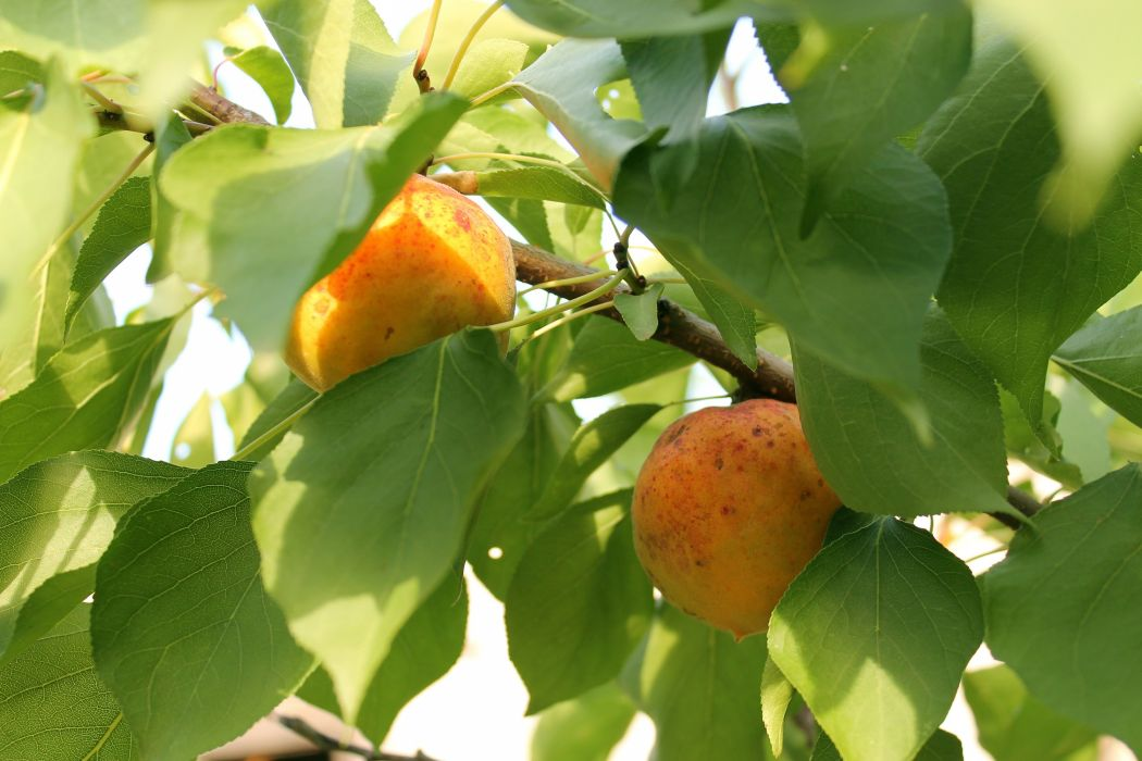 apricot fruits tasty ripe leaves summer wallpaper