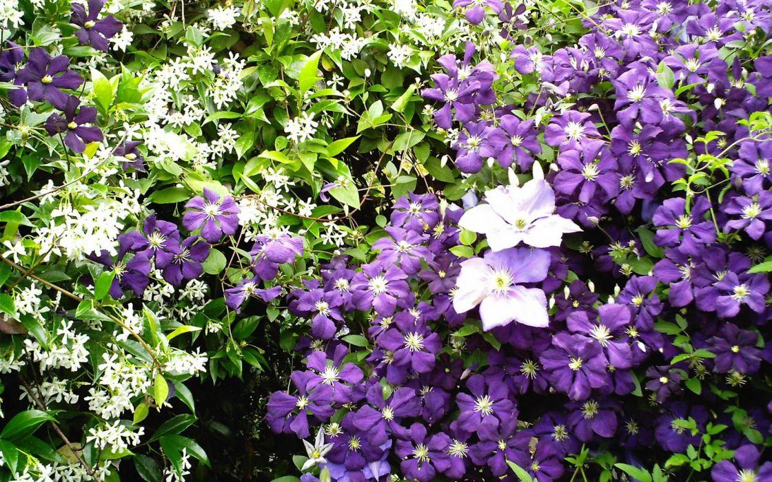 azucenas flores naturaleza wallpaper