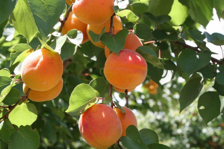 melocotones arbol frutas naturaleza wallpaper