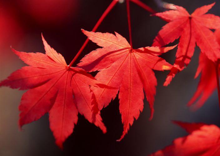 hojas rojas naturaleza wallpaper