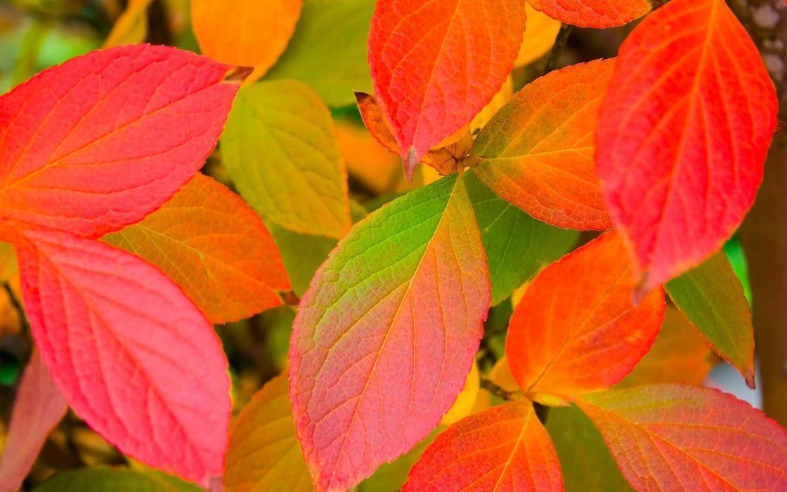 hojas rojas otoA wallpaper