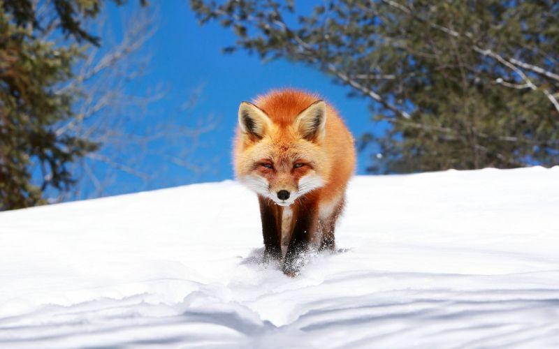 winter snow landscape nature fox foxes wallpaper
