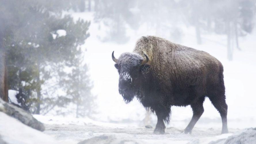 winter snow landscape nature cow bison buffalo wallpaper