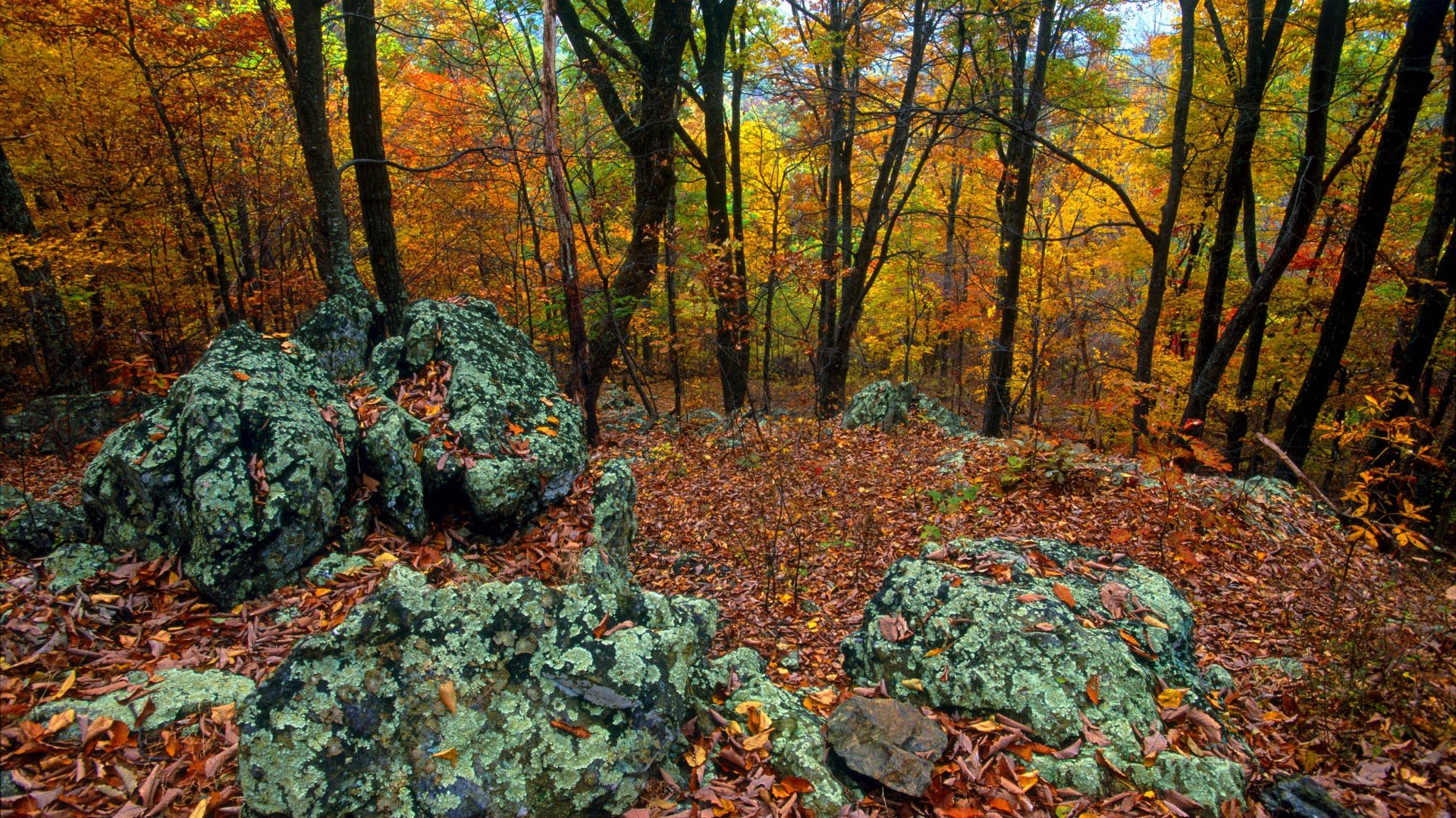 autumn leaf tree forest - photo #8