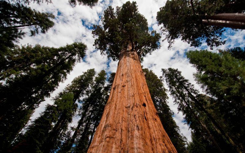 sequoia arbol milenario viejo naturaleza wallpaper
