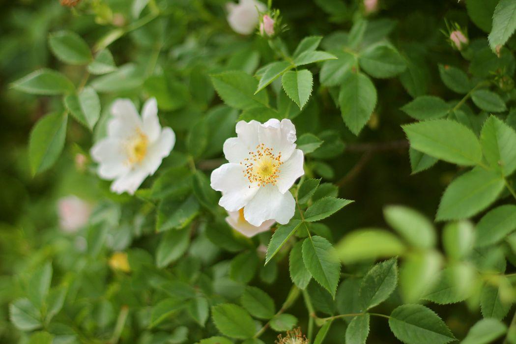 dog-rose flowers blossom leaves plant summer wallpaper