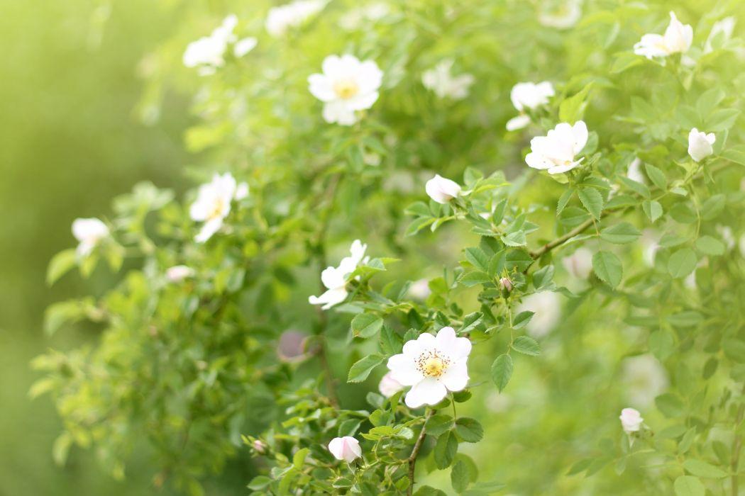 dog-rose flowers blossom leaves plant summer sunlight wallpaper