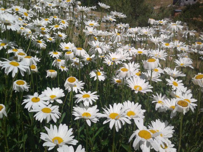 nature flower beauty beautiful daisy white wallpaper