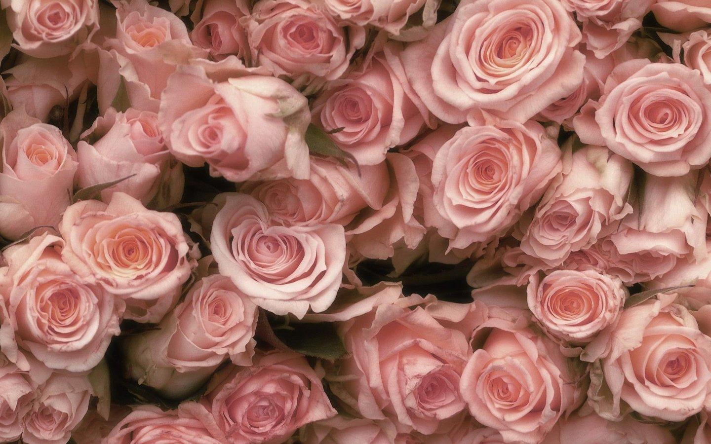 pink rose beauty beautiful nature flower wallpaper
