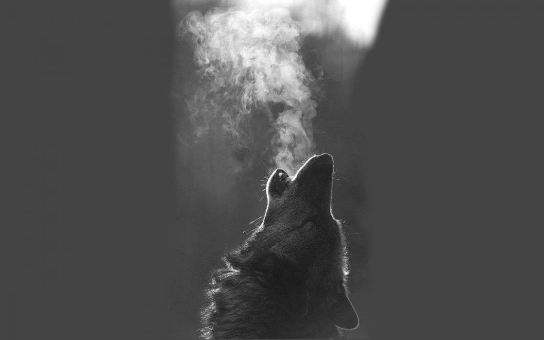 wolf animal breath wallpaper