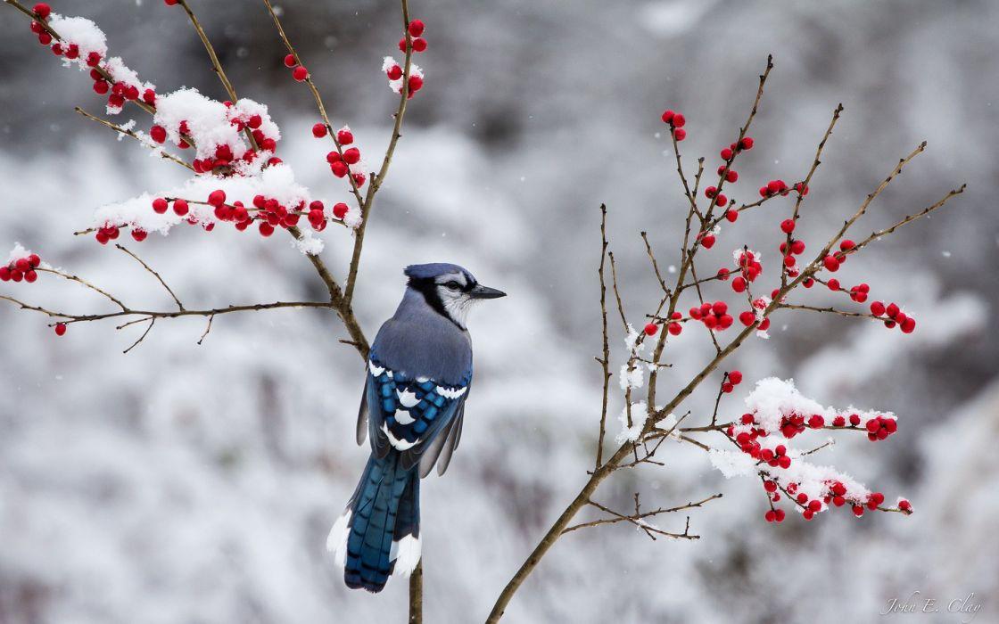 berries jay branch winter snow bird wallpaper