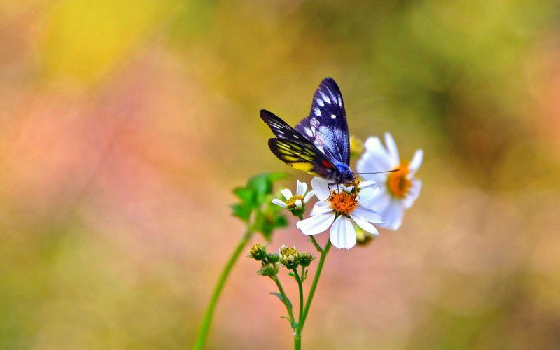 butterfly flowers kosmeya white background wallpaper