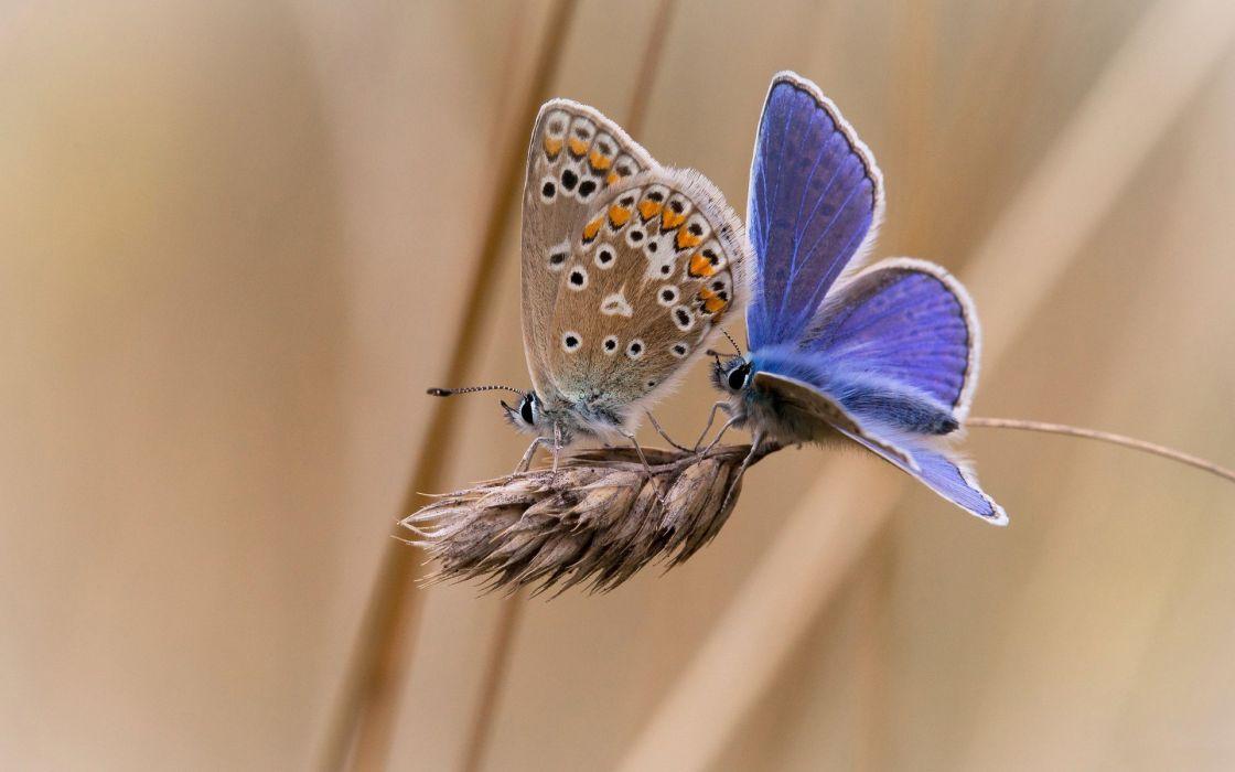 butterflies butterfly wallpaper