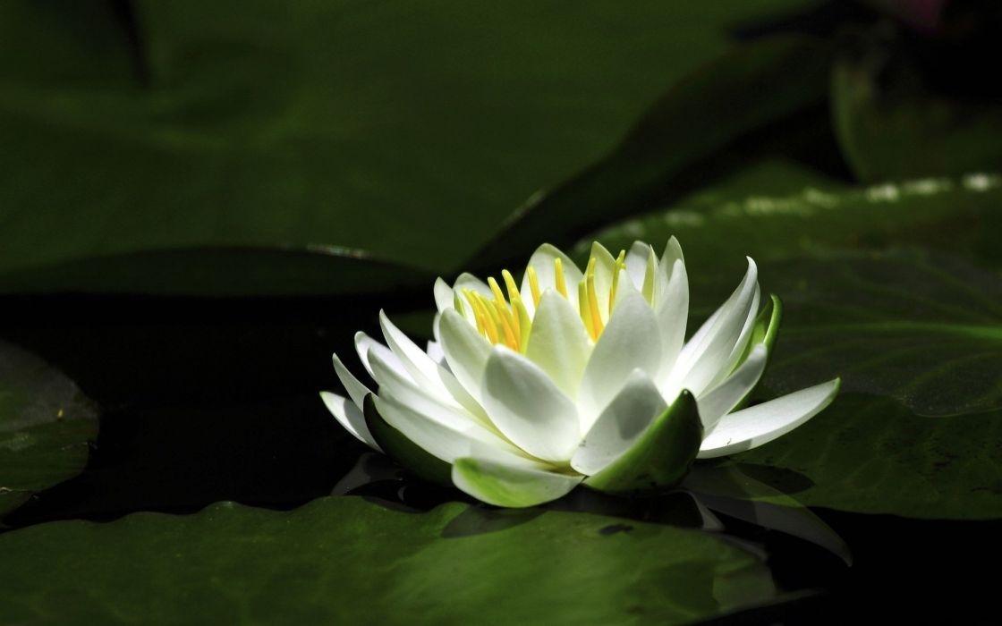 lily flower petals water wallpaper