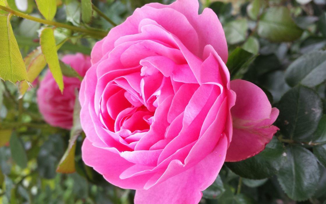 Rose Beauty wallpaper