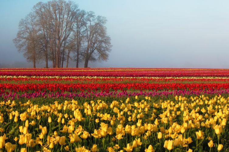 Tree nature sky spring tulips wallpaper