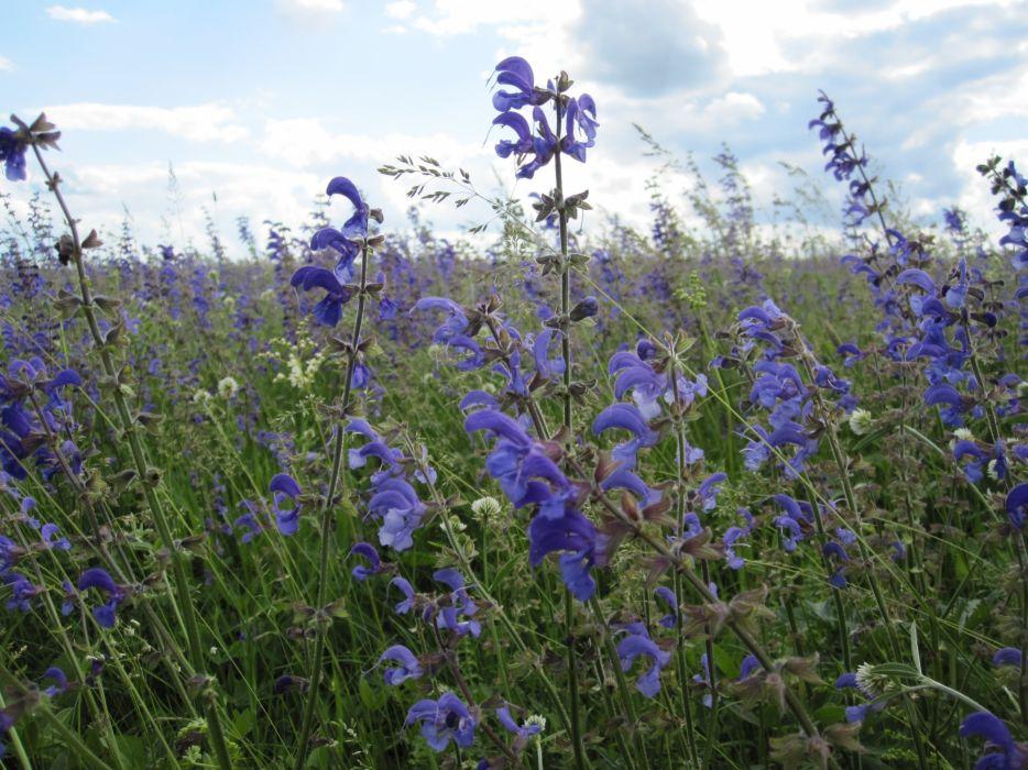 violet flowers field wallpaper