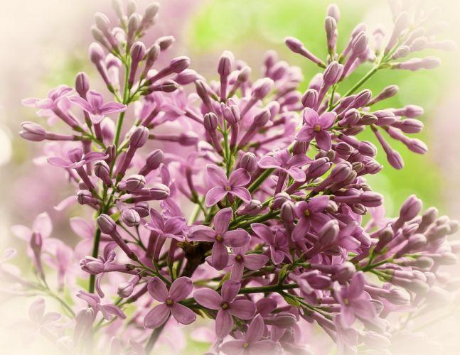 branch lilac flora wallpaper