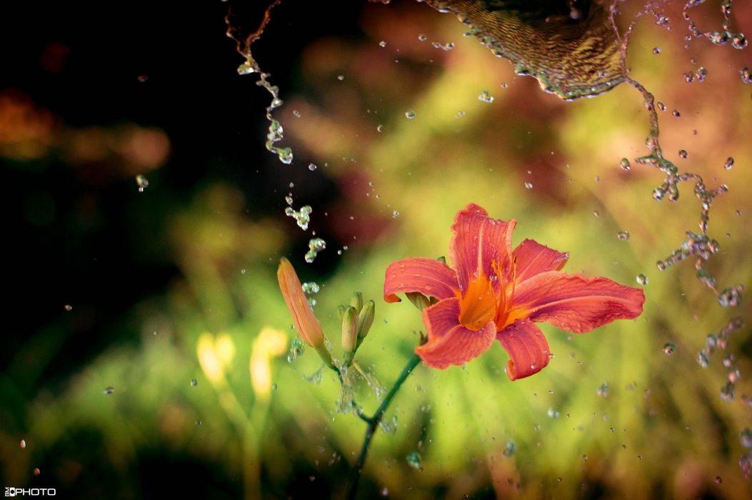 lily flower water splashing close-up wallpaper