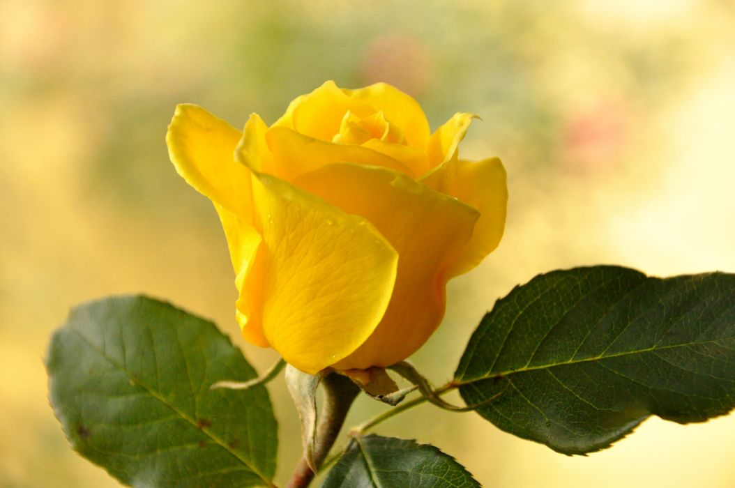 Rose Close-up Yellow Leaves Flowers wallpaper