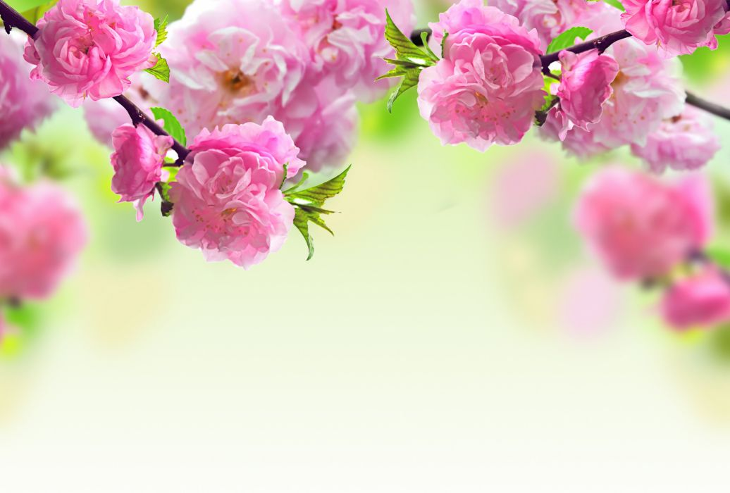 pink flowering flowers spring branches wallpaper