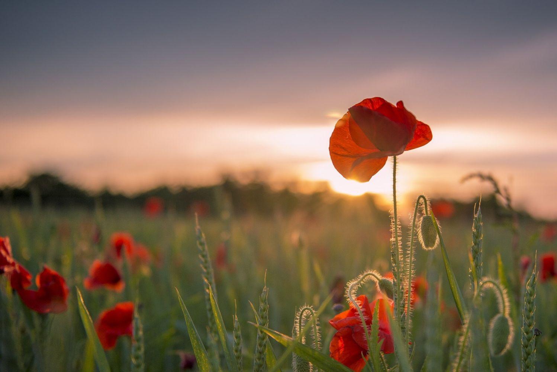 Картинка на рабочий стол цветы на закате