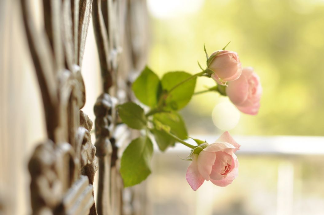 rose buds fence close-up wallpaper