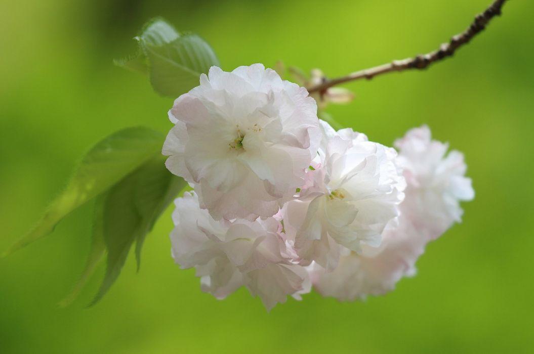 sakura cherry blossoms flowers branch macro spring wallpaper