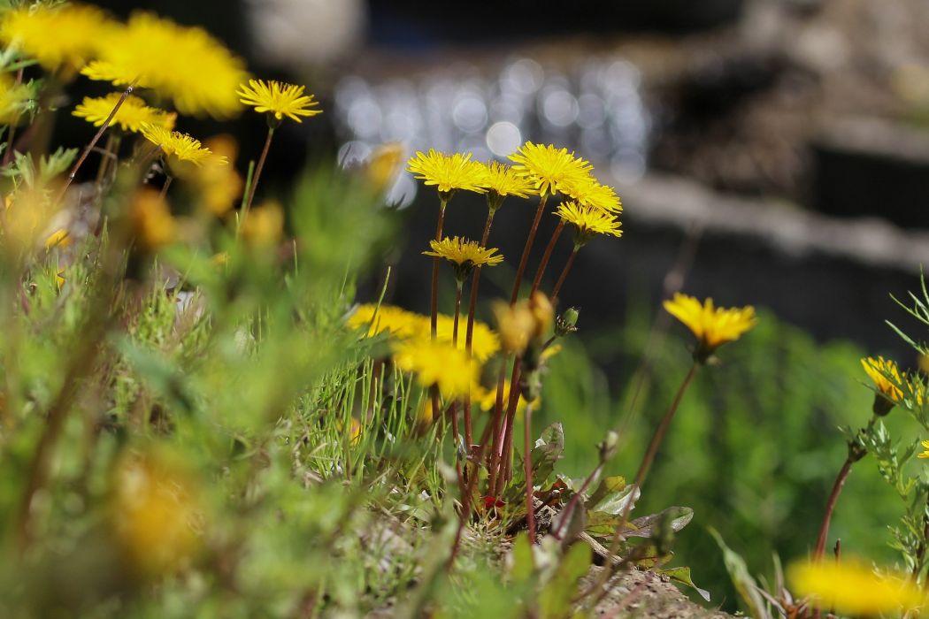 dandelions yellow summer nature flowers beautiful tundra Taimyr wallpaper