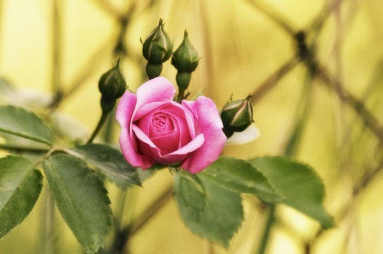 rose bud close-up n wallpaper