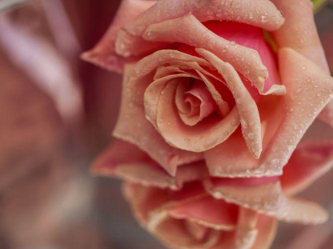 rose bud petals drops reflection close-up wallpaper